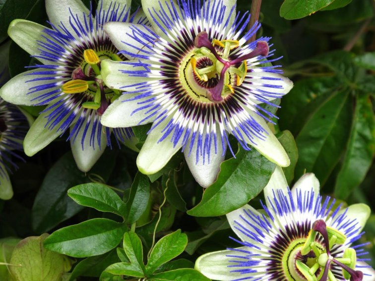 Benefits_Of_Passion_Flower_Passiflora_Incarnata_For_Health_3_9020f7f1-c74a-4bd5-98d4-6372c7cf0feb